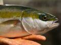Vissen koning te rijk in duurzame kwekerij
